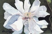 star magnolia   Dorothy dhunter Adams - SOLD